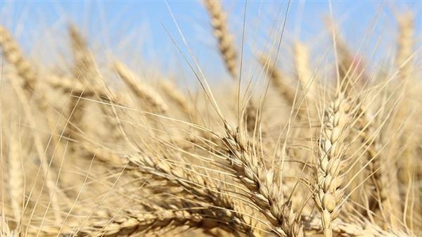 السعودية تطرح مناقصة لاستيراد 480 ألف طن من القمح